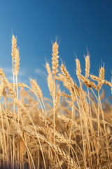 agriculture, crop, rural lifestyle concept. close up of beautiful gold ears full of mellow grains, they are stretching to deep blue sky with no one cloud