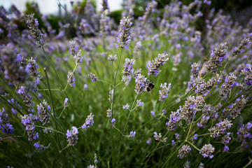 Bumble bee Lavender