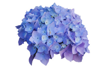 Flowers of blue hydrangeas, on white isolated background