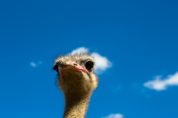 head of a  ostrich on background of blue sky