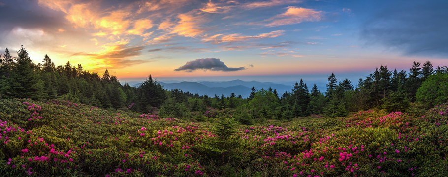 rhododendron field at sunrise, roan mountain state park, tennessee