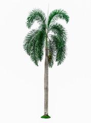 Palm tree isolated on white background.