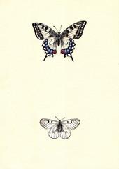 Рисунок бабочки парусники Махаон и Мнемозина акварелью