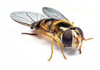 Syrphidae insect macro