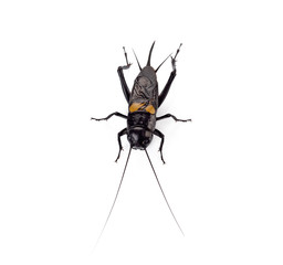 Cricket insect or Gryllidae isolated on a white background
