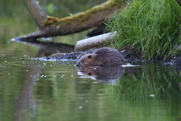 Wild european beaver in the beautiful nature habitat in Czech Republic, castor fiber, animal who loves water.