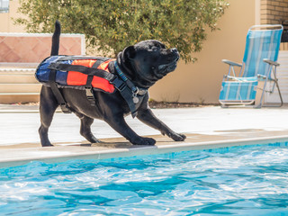 Dog in life jacket playing by a swimming pool