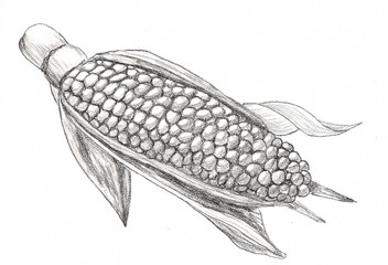 Corn cob. Hand drawn sketch style