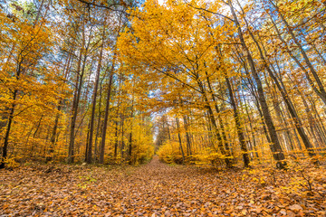 Golden autumn forest with fallen leaves, fall landscape