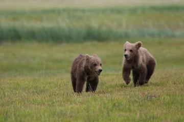 Two Grizzly Bear (Ursus arctos) cubs running and playing, Alaska Katmai National Park, Hallo Bay