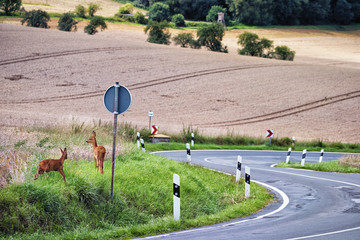Deer next to a country road