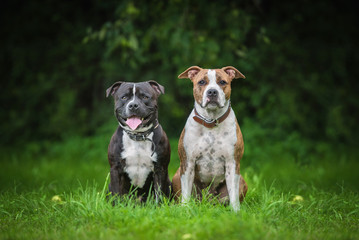 American staffordshire teriier and english staffordshire bullterrier dogs