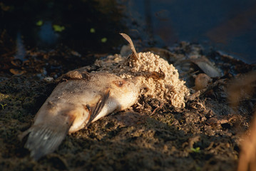 Maggots on decaying, decomposing, rotten, bloated, poisoned, dead fish on the edge of the lake pond