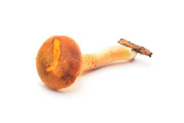 aureoboletus gentilis mushroom