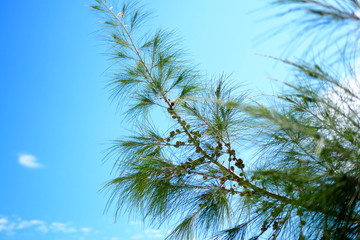 Leaves of pine trees and sky
