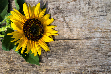 Decorative sunflower on the wooden background