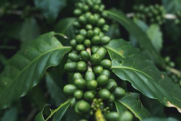 fresh Coffee tree Green coffee beans Organic