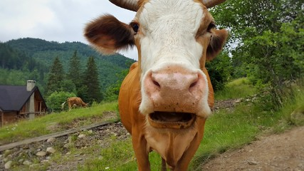 Calf face , selective focus. The cow looks at the camera