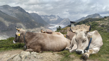 Kühe vor dem Aletschgletscher