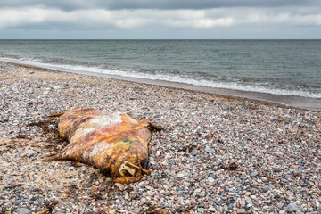Dead seal laying on the beach at national park island in the Baltic sea, landscape view.