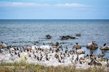 A colony of cormorant birds and seals at rocks in the Baltic sea. The island Gotska sandön Sweden.