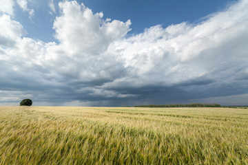 Acrylic Prints Village Grain field and storm clouds