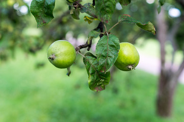 green apples on a branch. background, nature, food