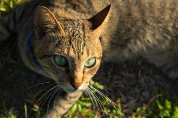Grey cat with green eyes on green grass background. Domestic cat hunting outside.