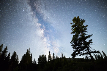 Pine trees silhouette Milky Way night sky