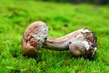 toxic cortinarius mushroom