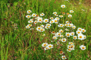 Natural landscape. Flowering daisies in a field in green grass. Forest glade with daisies.