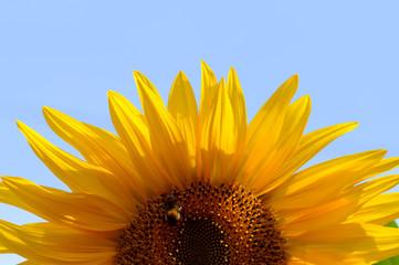 Fresh sunflower and blue sky