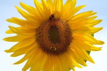 Sunflower against blue summer sky