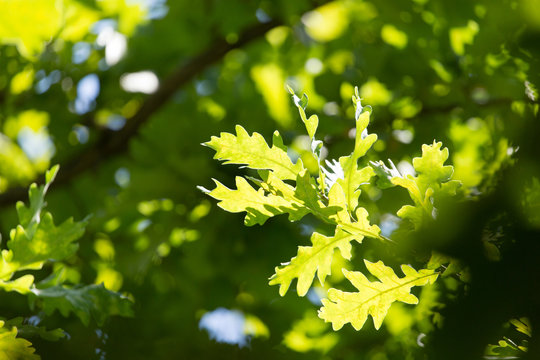 Green leaves on an oak tree in the nature