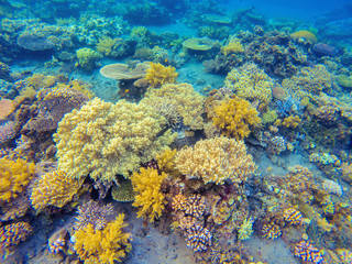 Yellow corals in tropical seashore. Undersea landscape photo. Fauna and flora of tropical shore.