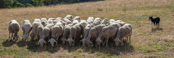 Le chien et le troupeau
