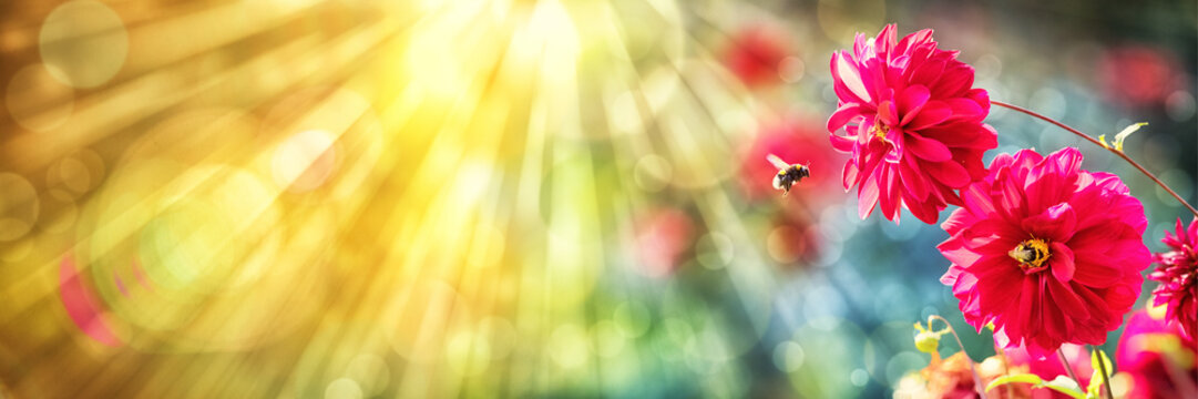 Summer background, Dahlia, Bumblebees