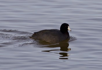 Beautiful picture with funny weird american coot in the lake
