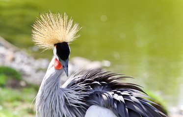 Photo of an east African crowned crane near a lake