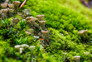 small toxic mushrooms in the moss closeup