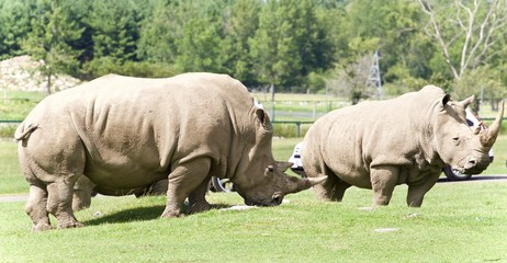 Image of a pair of rhinoceroses eating the grass
