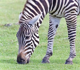 Image of a zebra eating the grass on a field