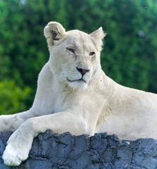 Isolated image of a white lion looking aside