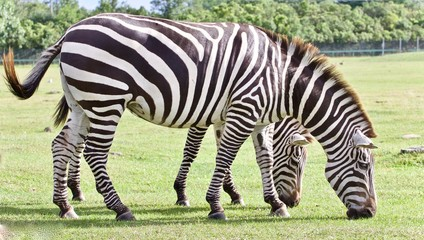 Image of a couple of zebras eating the grass