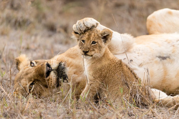 Lioness keeps her cub in check by placing her paw on his head