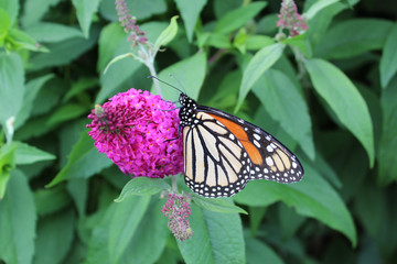The rare monarch butterfly