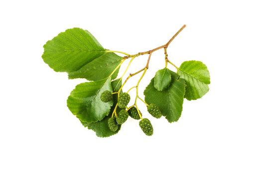 Alder leaves on white background