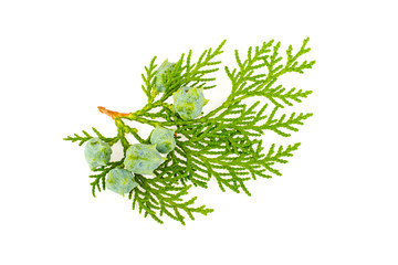 Twig of thuja on white background Wall mural