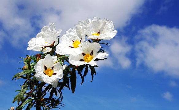 closeup of white cistus ladanifer flowers