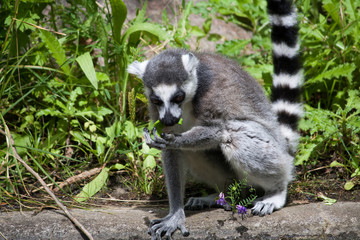 ring-tailed lemur sitting and eating